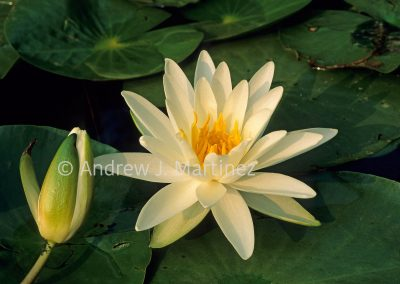 Scented Pond Lily