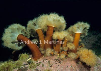Frilled Anemones