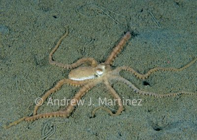 Atlantic Longarm Octopus