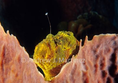 Longlure Frogfish, waving lure