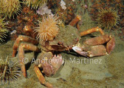 Arctic Lyre Crab