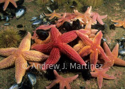 Northern Seastar , Asterias rubens , Gulf of Maine, feding on mussels