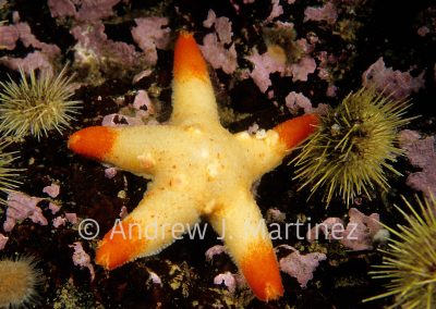 Winged Sea Star, brooding young