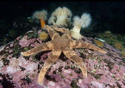 Polar Sea Star