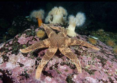 Polar Sea Star, Leptasterias polaris, Gulf of St. Lawrence, near Frilled Anemones on coraline algae covered rock