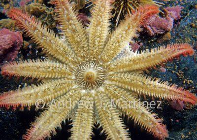 Spiny Sunstar, Crossaster papposus, Gulf of Maine, underside of star