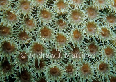 Great Star Coral,  polyps extended at night,