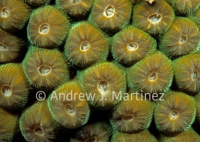 Great Star Coral, polyps withdrawn,