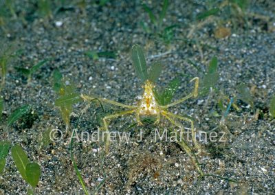 Decorator Crab, covered with algae
