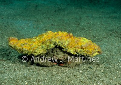 Redeye Sponge Crab, Dromia erythropus, St. Vincent     Caribbean
