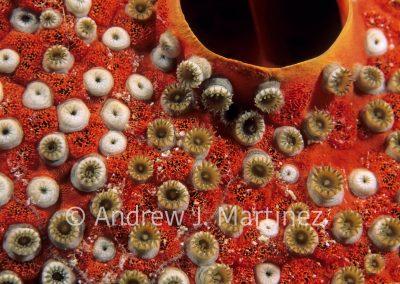 Sponge Zoanthids