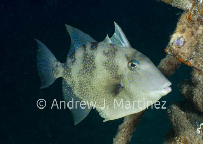 Gray Triggerfish,