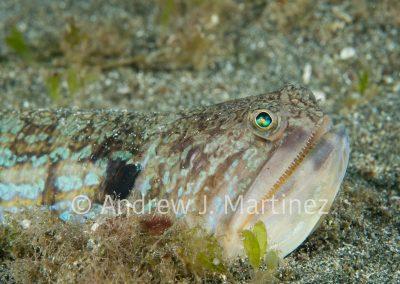 Snakefish,