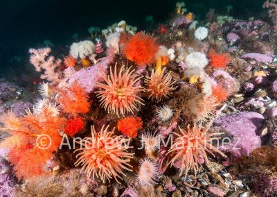 Northern Red Anemone,