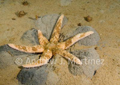 Polar Sea Star, Leptasterias polaris, Gulf of St. Lawrence, Quebec, Canada. Digging into sand to get a bivalve
