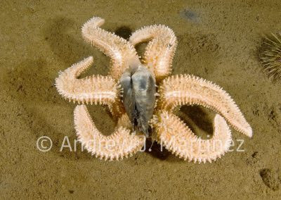 Polar Sea Star, Leptasterias polaris, Gulf of St. Lawrence, Quebec, Canada. Uses tube feet to pull open the clam.