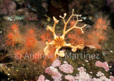 Northern Basket Star, Gorgonocephalus arcticus, Gulf of Maine.