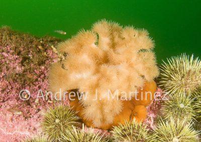 Cloned plumose anemone