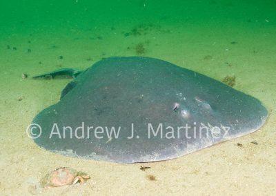 Atlantic Torpedo, Gulf of Maine