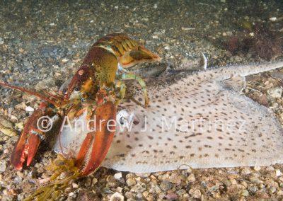 Lobster feeding on a skate