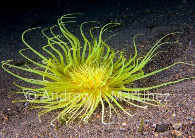 Cerianthids, often called sand anemones, live in tubes often in sandy areas. They withdraw into sand when disturbed. Indonesia