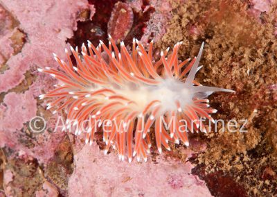 Red-gilled Nudibranch, Flabellina pellucida Gulf of Maine. Also known as Pellucid Aeolis