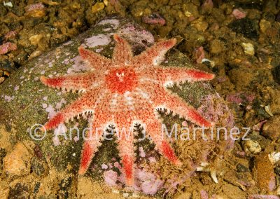 Spiny Sunstar, Crossaster papposus, Gulf of Maine.  an active predator  also feeds on sea stars