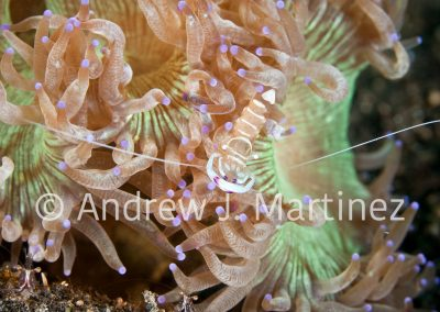 Anemone (Commensal) Shrimp