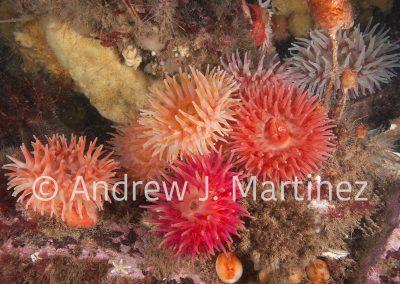 Northern Red Anemone, Gulf of Maine