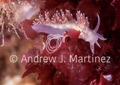 Red-finger aeolis  (Flabellina verrucosa) Gulf of Maine, AKA Red-gilled Nudibranch . Depositing eggs on algae