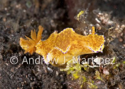 T-bar nudibranch,