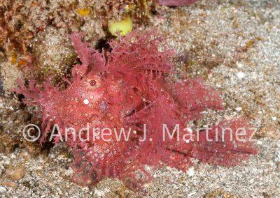 Weedy scorpionfish,