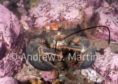Northern Lobster, (Homarus americanus), Gulf of Maine