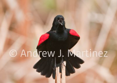 Red winged blackbird,male