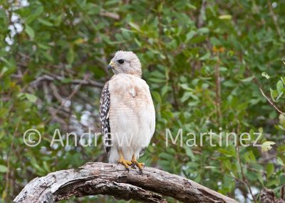 Red-shouldered Hawk, (Buteo lineatus),