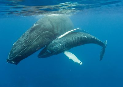 Humpback whale and calf