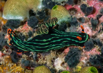 Kubaryana's Nembrotha Nudibranch