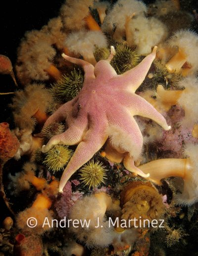 Smooth (Purple) Sun Star,  Solaster endeca, Gulf of Maine,  on sea anemones, An active predator also feeds on sea stars