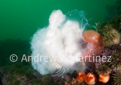 Anemone capturing a jellyfish