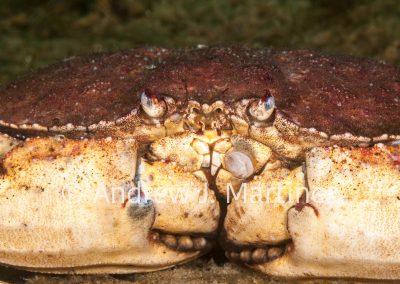 Jonah Crab,