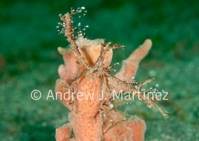 Decorator Crab, St. Vincent