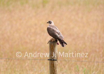 Swainson's Hawk with prey