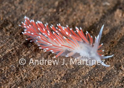 Aeolis Nudibranch, -Also known as Red-Gilled Nudibranchs-, (Flabellina pellucida) , Eastport, Maine, Gulf of Maine