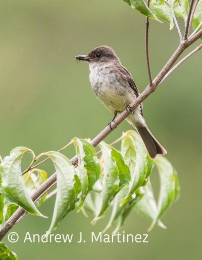 Eastern phoebe with nest