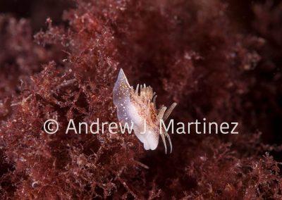 Okenia ascidicola, nudibranch