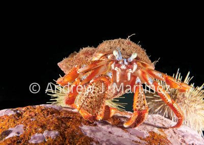 Acadian Hermit Crab
