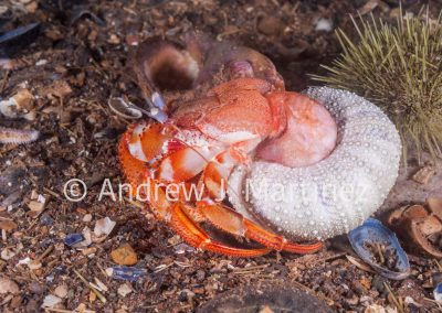 Acadian Hermit Crab out of shell