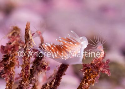 Red-Gilled Nudibranchs, Flabelina gracilis, Feeding on hydroid. Gulf of Maine