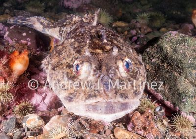 Shorthorn Sculpin, Gulf of Maine