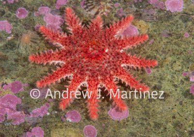 Spiny Sunstar, (Crossaster papposus), Eastport, Maine, Gulf of Maine, an active predator  also feeds on sea stars